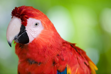 colorful scarlet macaw close up
