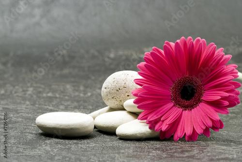 Spoed canvasdoek 2cm dik Gerbera Gerbera pink