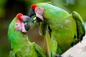 a pair of military macaws