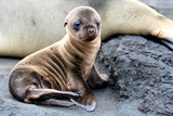 Sea Lion Puppy from Galapagos Islands - Fine Art prints