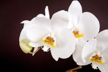White orchid isolated on broun background