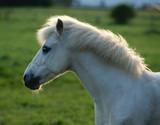 Weißes Pony, Gegenlicht poster