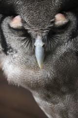 Owl with EyeLids Shut
