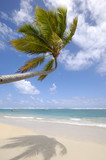 Palm hanging over exotic caribbean beach poster