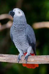 african grey parrot profile