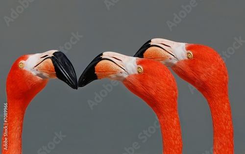 Foto op Aluminium Flamingo 3 flamants roses