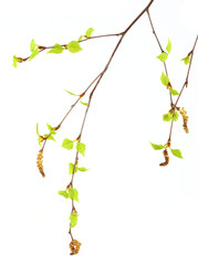 two branches of russian Birch Tree with catkin, spring buds and