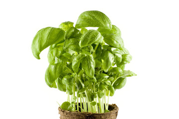 Close-up fresh basil plant isolated on white background