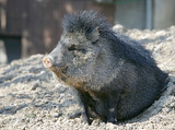 peccary waking up poster