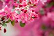 Leinwanddruck Bild - Crabapple Blossom 1