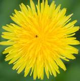 Dandelion Closeup - 7105539