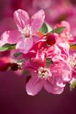 Crabapple Blossom 2 - 7105542