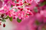 Crabapple Blossom 1 - 7105543