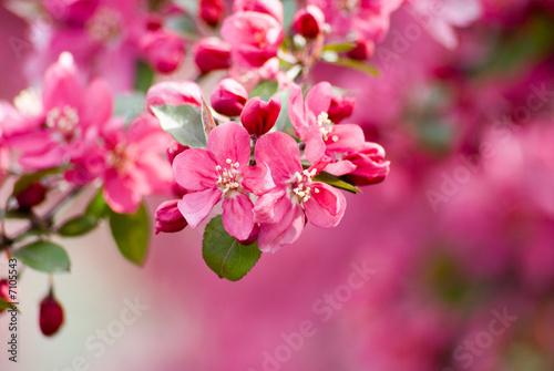 Obrazy na płótnie i fototapety na ścianę: Crabapple Blossom 1