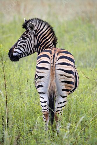 Leinwandbild Motiv burchells zebra