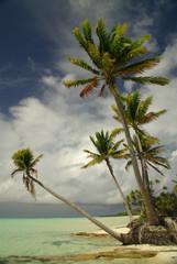 Palmier sur le bord du lagon