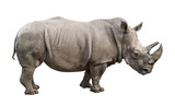 White rhino old male cutout poster
