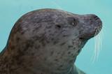Grey Seal Pup poster