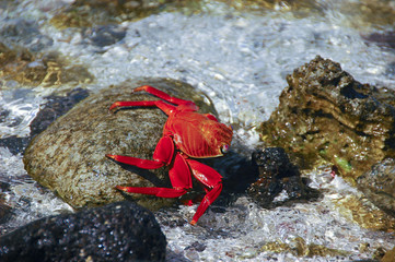 Sally Lightfood Red Crab Galapagos