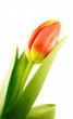 Tulpe, einzeln