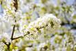 roleta: Fleur de cerisier