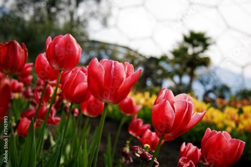Eden Project Tulips