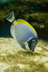 Salt water fish - Acanthurus leucosternon