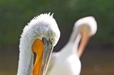 Double portrait of crested pelican poster