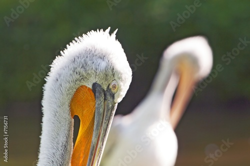 Double portrait of crested pelican