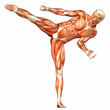 Male Human Body Anatomy - Sport