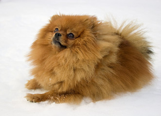 The Spitz dog lays on a snow.
