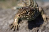 Lacerta agilis - common Eurasian small lizard poster