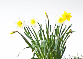 Group of white and yellow narcissus daffodils