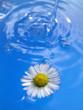 Gänseblume im Wasser