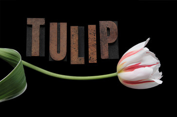 red and white striped tulip and word 'tulip'