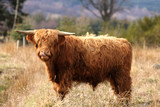 Highland Cow in Royal Desside