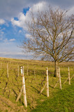 wineyard in southern moravia with a tree and blue sky