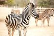 Zebra and herd