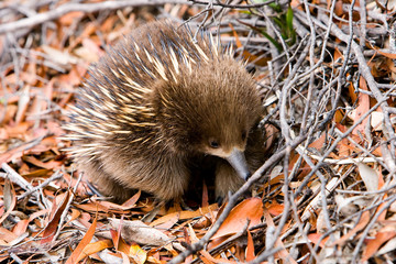 Echidna in forest in Tasmania