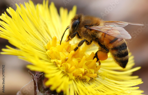 Foto op Canvas Bee Native Honey Bee