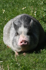 Fat potbelly pig
