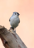 Tufted Titmouse (baeolophus bicolor) with a pink background poster
