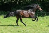Pferde - Braunes Pferd im Galopp poster