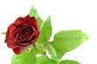 red rose and leaf