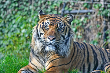 Tiger basking in the sun
