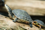 Turtle Sunning - 7224791
