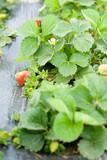 Strawberries on the vine - 7226114