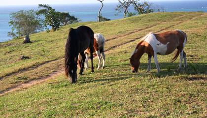 Roatan Pony