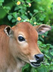Moo Cow 2