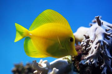 tropical fish (Zebrasoma flavescens) floats in the aquarium